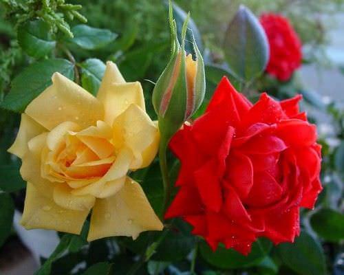 В последние годы цветоводами все чаще культивируются бордюрные розы