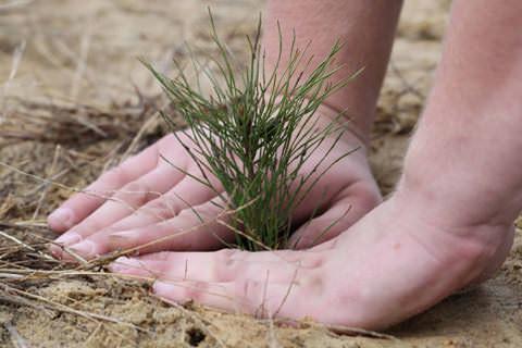 Посадка сосны из леса должна осуществляться правильно