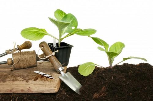Выращивать капустную рассаду можно вполне успешно в домашних условиях