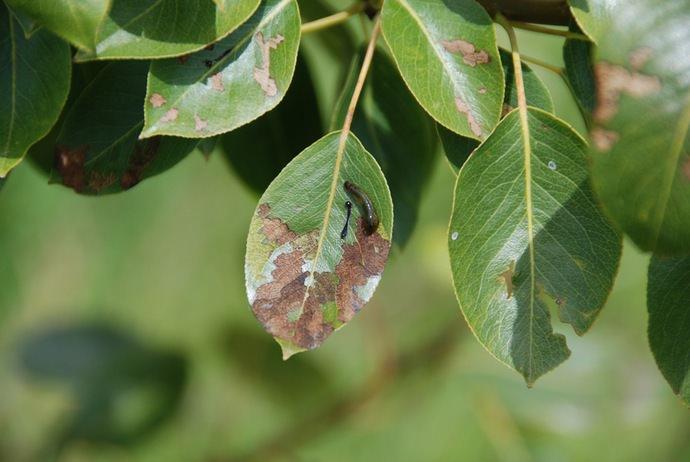 Максимальная эффективность при борьбе с растительными паразитами и болезнями отмечается при строгом осуществлении комплекса мероприятий