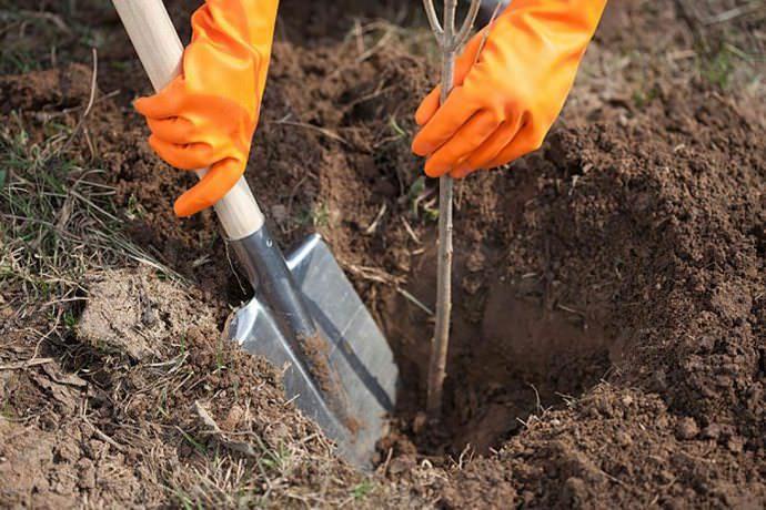 При высаживании растений, имеющих открытую корневую систему, важно проследить, чтобы не происходило подсыхание корневой системы