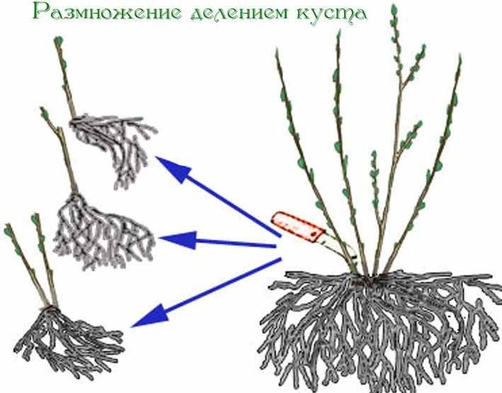 Чтобы размножить пузыреплодник можно использовать метод деление взрослого, уже сформировавшегося куста