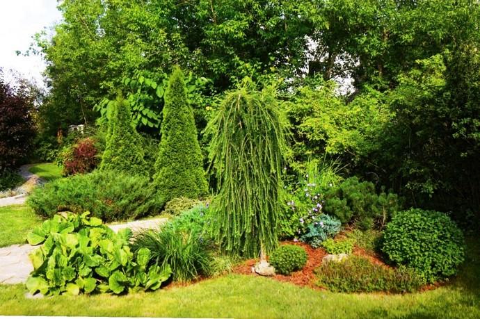 При оформлении приусадебного ландшафта в последнее время всё чаще используются растения с плакучей кроной