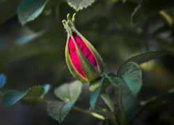 При погрешностях в уходе за розой часто возникают проблемы цветения и бутонообразования