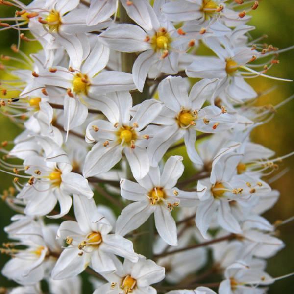 Эремурус - цветок необычайной красоты, способный украсить любой участок