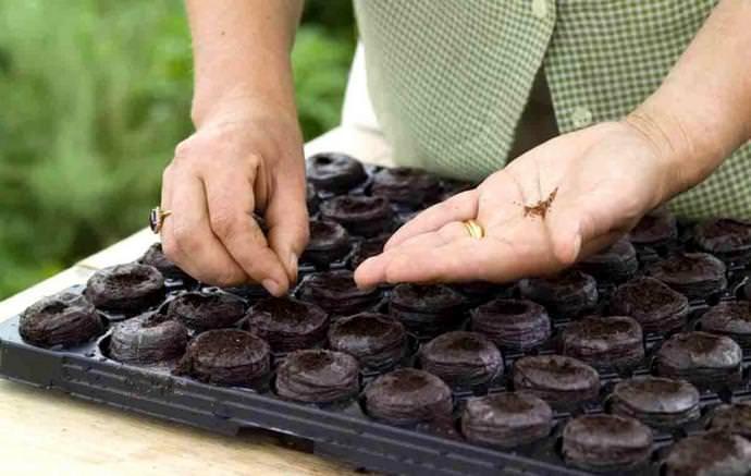 Посев осуществляется с заглублением семян не более чем на сантиметр в хорошо увлажненный грунт