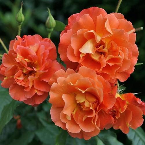 Роза Вестерленд многим цветоводам известна как парковая