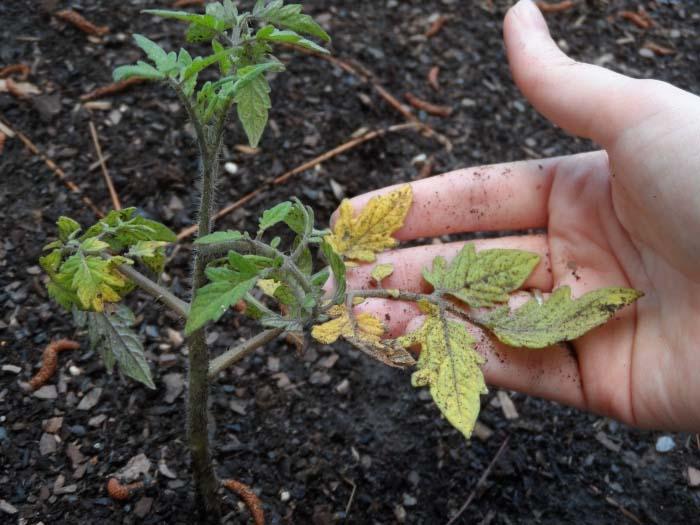 Если листва на растении желтеет, то можно предположить, что несоблюдался режим проведения оросительных мероприятий