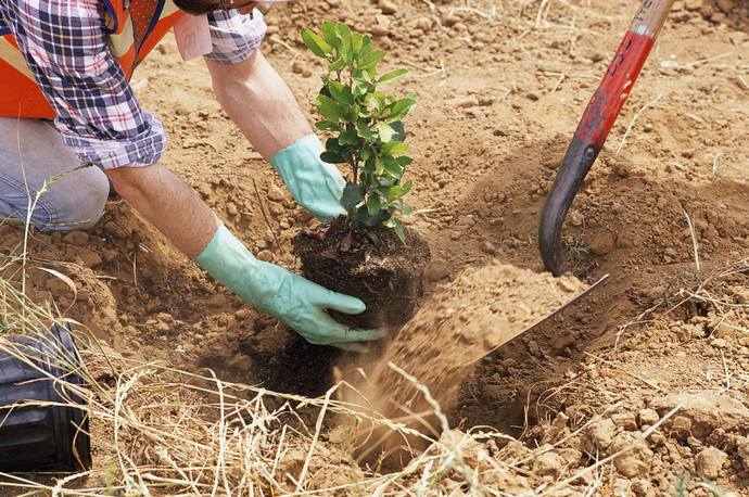 Для создания изгороди лучше всего применять молодые растения в возрасте 3 лет