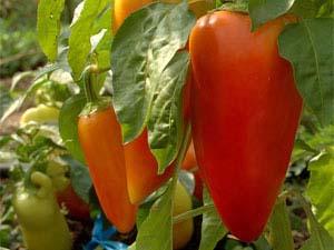 Сладкий болгарский перец Винни-Пух относится к числу неприхотливых и урожайных сортов