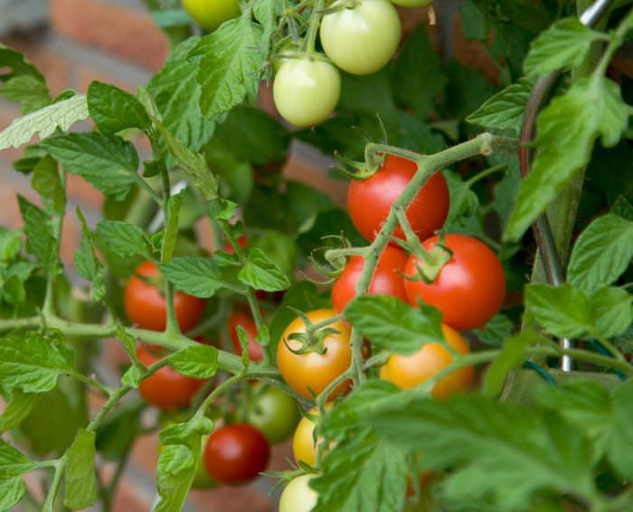 помидоры для подмосковья в парнике