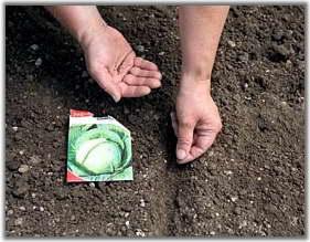 Капуста высаживают в теплицы, чтобы весной получить ранний урожай