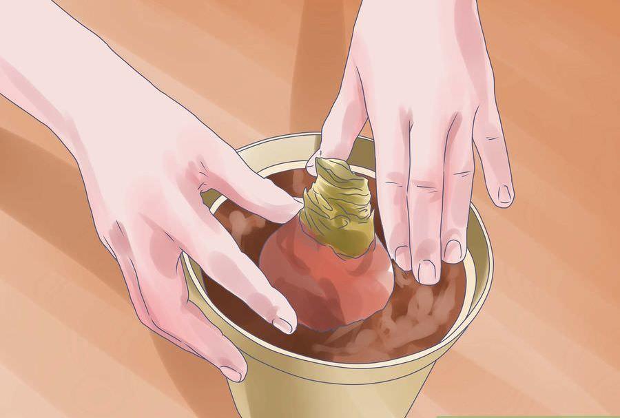 Можно ли гиппеаструм выращивать в открытом грунте?