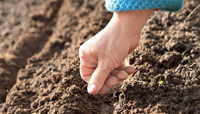 Сеять предварительно подготовленные семена свеклы рекомендуется в период с первого по десятое мая