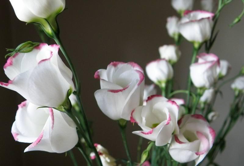 Эустома: выращивание цветка своими силами