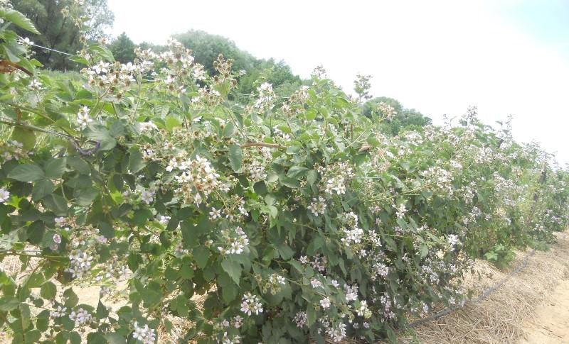 Ежемалина: посадка, выращивание и уход за дачным чудом