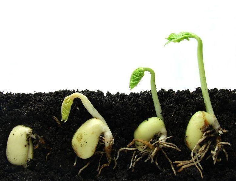 Любую бобовую культуру, а также декоративно-вьющиеся растения желательно укоренять в знаке Весы