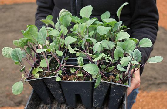 Отечественными овощеводами-любителями практикуется выращивание капустной рассады в домашних условиях из семян