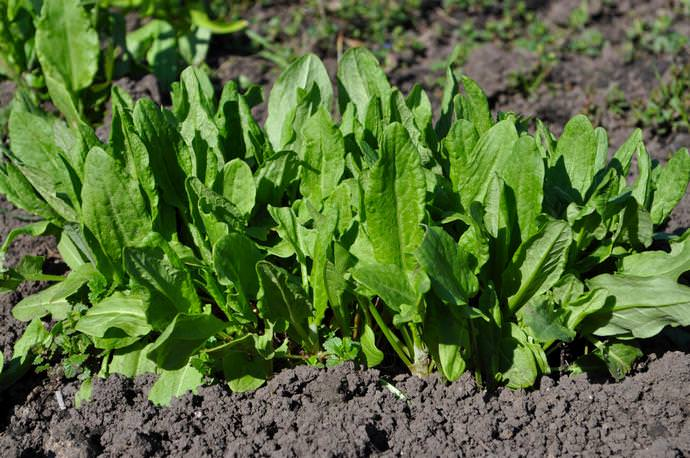 Посадка щавеля осенью позволяет получить более ранний урожай полезной зеленой культуры