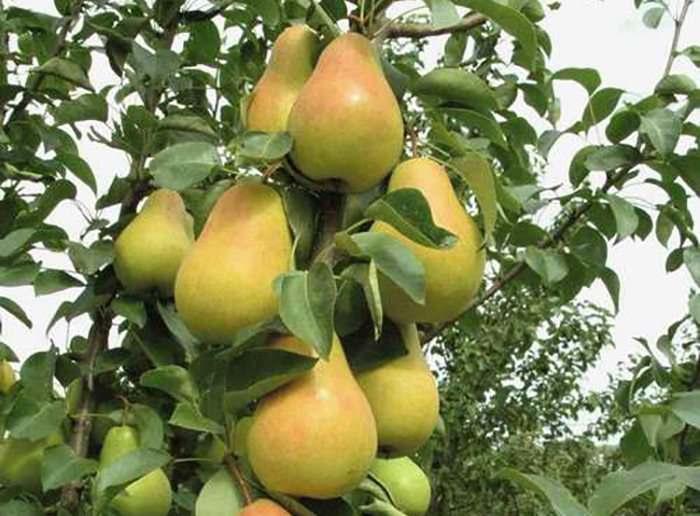 Колоновидные плодовые деревья - саженцы для Краснодара Подмосковья сорта особенности ухода и обрезки фото видео