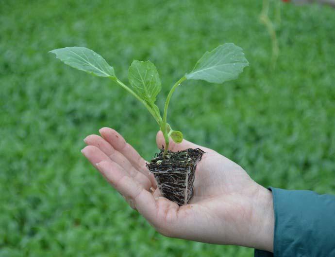 Под посев семян пекинской капусты рекомендуется использовать специальные посадочные кассеты, а также торфяные горшки или таблетки