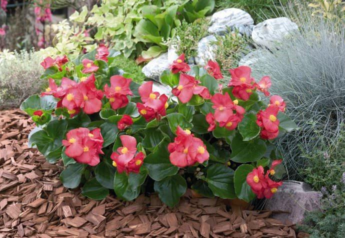 Цветение бегонии вечноцветущей практически круглогодичное, но максимально интенсивное с начала лета до ноября