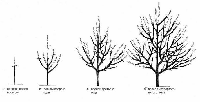 Формирование кроны персика саженца, взрослого дерева, кустом, чашей, другие способы, сроки и