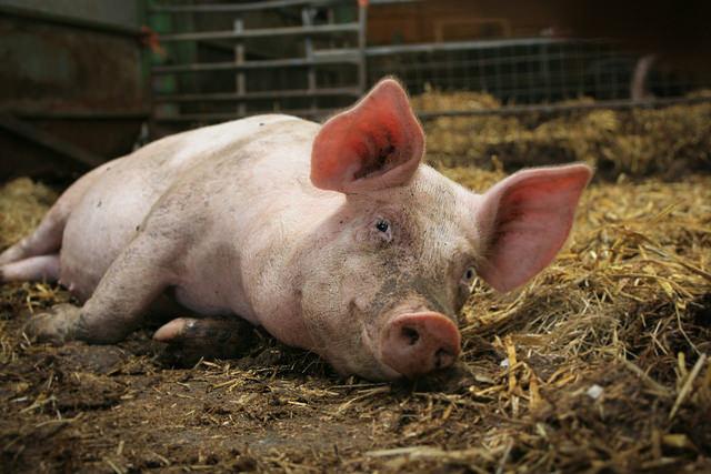 Свиньи нуждаются в достаточном естественном освещении, положительно влияющем на биологические процессы в организме животного