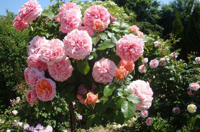 Штамбовые розы не представляют собой самостоятельную садовую группу и используются в качестве эффектного приёма в садовом оформлении