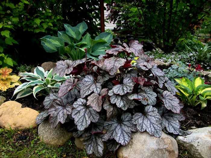 Гейхера лучше всего растет и развивается на легких, питательных, хорошо дренированных и водопроницаемых грунтах