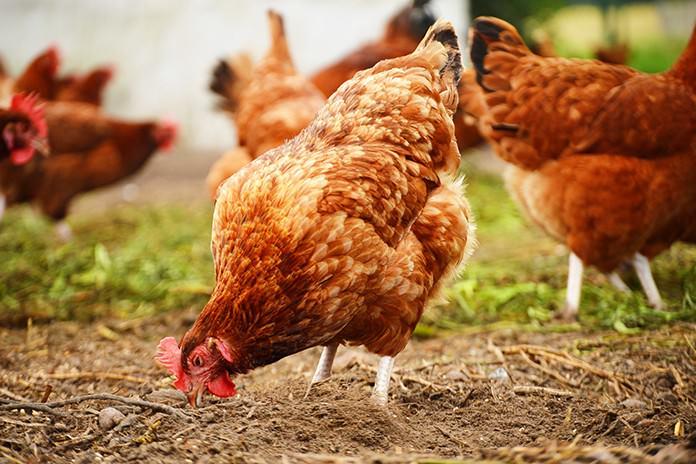 Куры перестают нести яйца при наличии воспалительных заболеваний репродуктивной системы