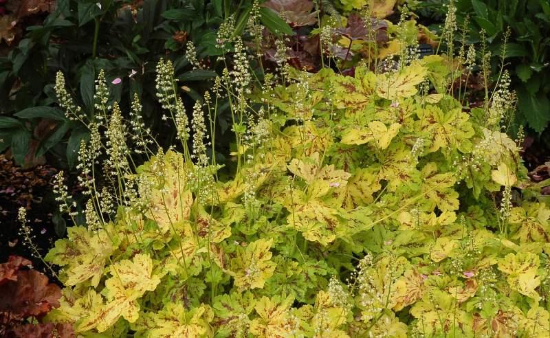 Гейхера: раскошнолистное растение в ландшафтном дизайне