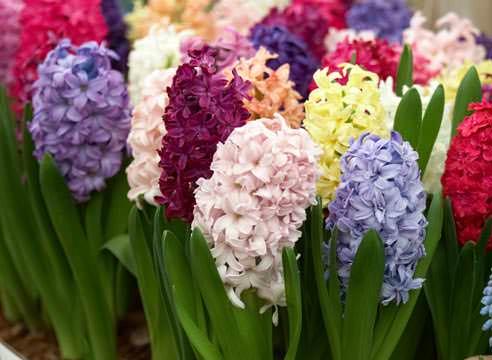 Эти прекрасные цветы обычно высаживают в грунт осенью, однако возможна и посадка гиацинтов весной