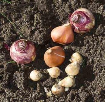 Думая о том, что делать с луковицами гиацинтов после цветения, необходимо изучить основные характеристики этих растений