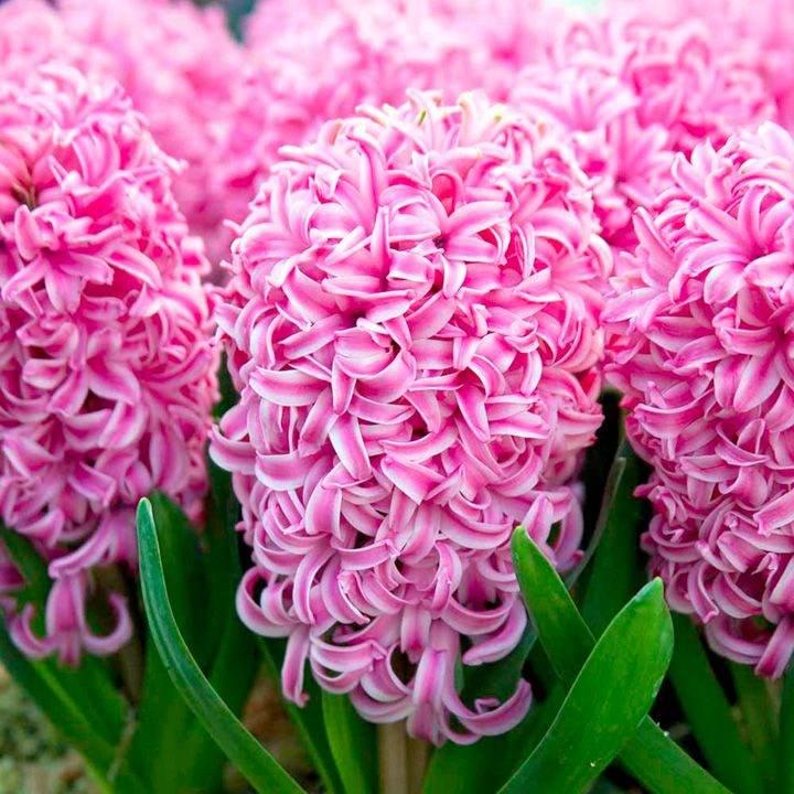 Срок выгонки ранних растений, таких как гиацинт Пинк Перл, а также Бисмарк, Мари, Миозотис, Женераль Колер, Лорд Балфур, Инносанс, составляет чуть более 20 дней