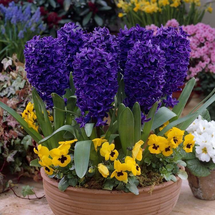 К поздним растениям относится Синий сапфир, плотное соцветие которого усыпано большим количеством колокольчиков небесно-голубого окраса