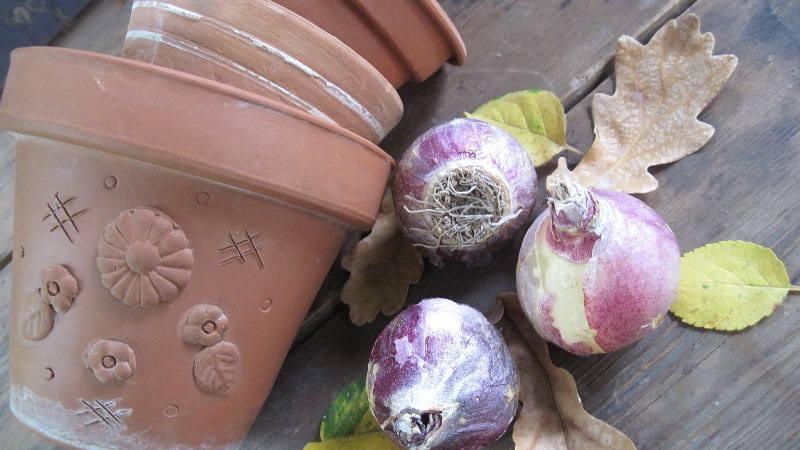 Если гиацинт уже отцвел, а луковица осталась, то ее можно сохранить до следующего года