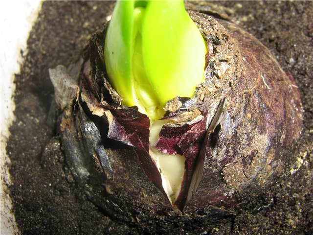 Луковица примерно на 1/3 должна выглядывать из почвы в горшке, который ставят в прохладное место