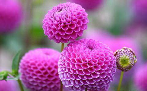 Российским любителям садовых клумб известно около 150 сортов этих цветов