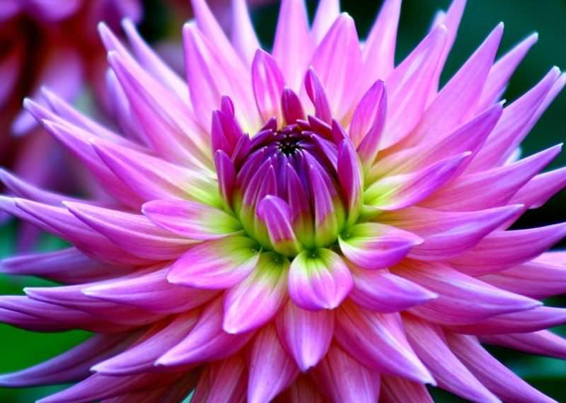 Когда-то цветы георгины был диковинкой для европейцев — их привозили из Мексики и других стран Нового Света