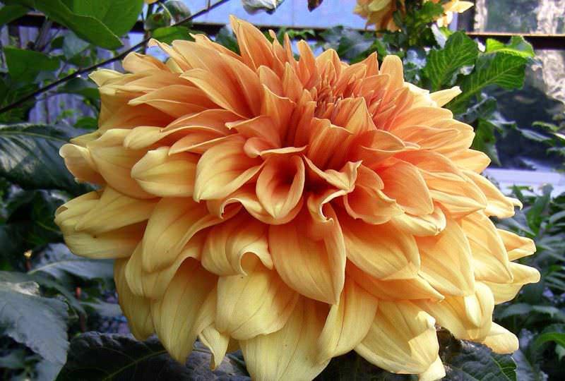 Для одиночной культивации в предпочтении гибридные сорта с большими соцветиями, типа георгина изменчивая Монарх Востока