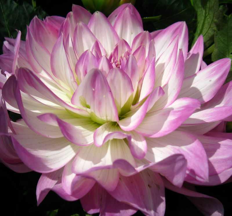 Менее крупные цветы, такие как кремовая георгина Крейзи Лав
