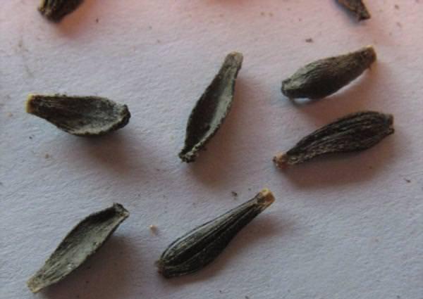 Выращивание георгин из семян популярные сорта, заготовка посадочного материала, технология