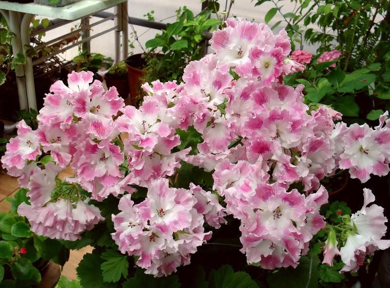 Следует особое внимание уделять регулярному, качественному поливу растения