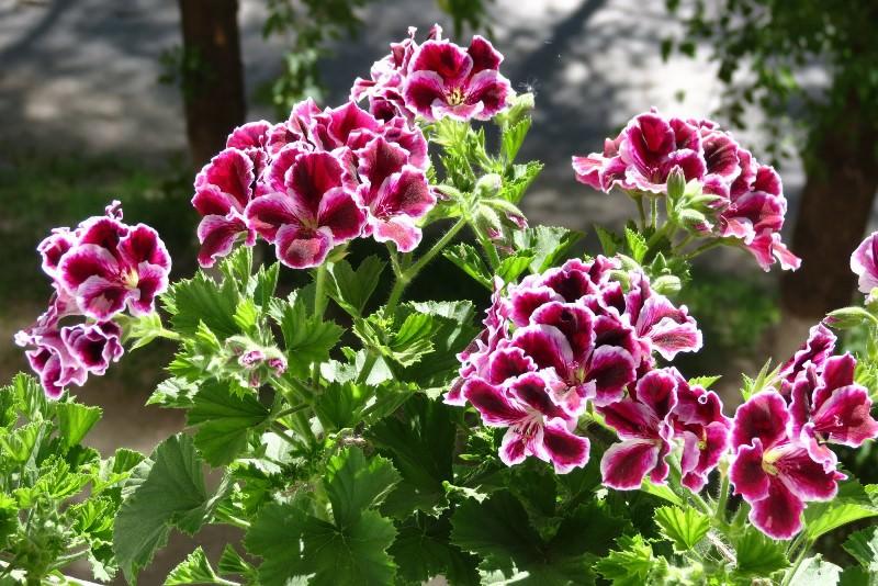 Цветы у данного растения обладают очень привлекательной пестрой окраской