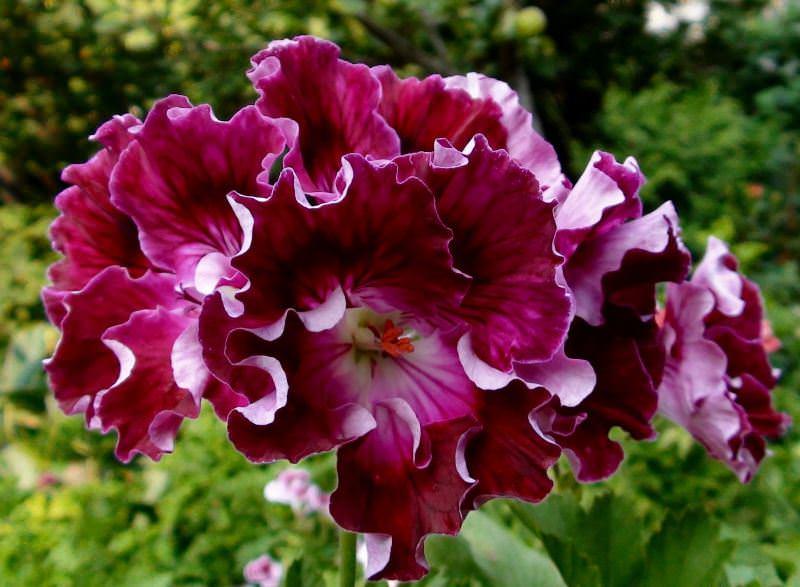 Королевской пеларгонии необходима обрезка для пышного цветения