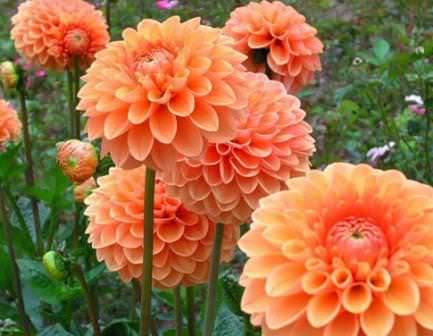 Георгины любимы многими, ведь это одни из самых очаровательных садовых цветов