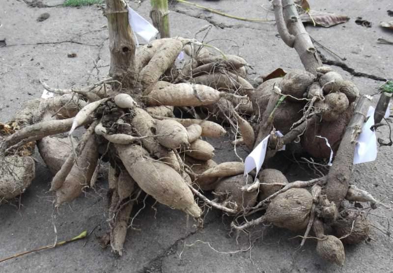 Обычно в середине мая уже можно посадить георгины