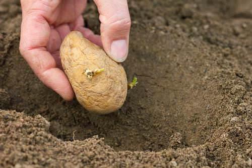 Правильное внесение удобрений для картофеля при посадке оказывает существенное влияние на качественный урожай