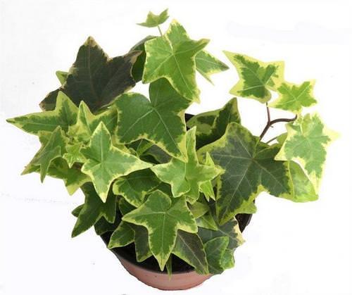 Комнатный плющ – одно из самый популярных у цветоводов-любителей растений